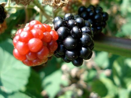 bowen-island-blackberries